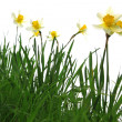 Yellow spring daffodils in green grass isolated on white — Stock Photo