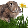 Adorable rabbit in green grass with yellow spring daffodils isol — Stock Photo