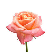 Pink Rose. — Stock Photo
