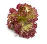 Lettuce. — Stock Photo