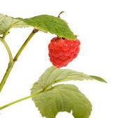 Raspberry-cane. — Stock Photo