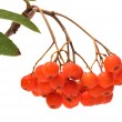 Ashberry. — Stock Photo