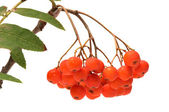 Ashberry. — Foto Stock