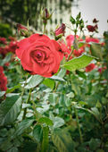 Roses flowerbed — Stock Photo