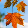 Autumn maple leaves — Foto Stock #4666610