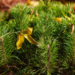 Shoots mountain spruce — Stock Photo