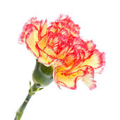 Rosa e garofano giallo — Foto Stock