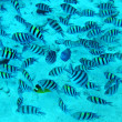 Group of coral fish in blue water.Red sea. - Stock Photo