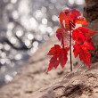 Red maple seedling by river — Stock Photo