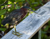 Green Heron on fence — Stock Photo