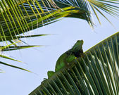 Iguana in palm tree — Stock Photo