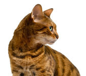 Bengal cat looking sideways in profile — Stock Photo