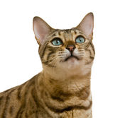 Bengal cat looking with pleading stare — Stock Photo