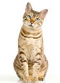 Gatinho bonitinho de bengala parece pensativa para câmera — Foto Stock