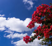 Bougainvillea gegen tief blauen himmel — Stockfoto