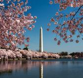 Třešňový květ a washington monument — Stock fotografie