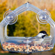 Black capped chickadee on feeding tray — Stock Photo