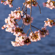 Cherry Blossom Trees by Tidal Basin — ストック写真