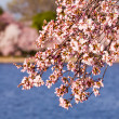 Cherry Blossom Trees by Tidal Basin — Stock Photo #5277114