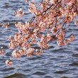 Cherry Blossom Trees by Tidal Basin — Stock Photo