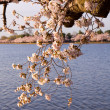 Cherry Blossom Trees by Tidal Basin — Stock Photo #5277278