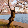 Cherry Blossom Trees by Tidal Basin — Stock Photo #5277293