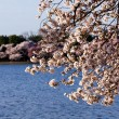 Cherry Blossom Trees by Tidal Basin — Stock Photo #5277444
