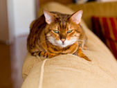 Bengal kitten with mean stare — Stock Photo