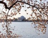 桜とジェファーソン記念堂 — ストック写真