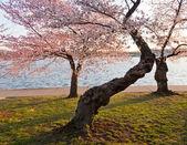 Cherry Blossom Trees by Tidal Basin — Stock Photo