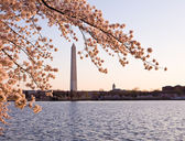 Cherry Blossom and Washington Monument — Stock Photo