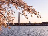 Cherry Blossom and Washington Monument — Stock Photo