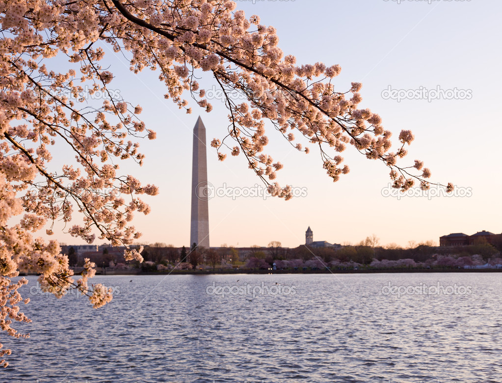 Washington Monument by Tidal Basin and surrounded by pink Japanese Cherry blossoms  Stock Photo #5277356