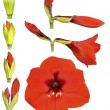 Hippeastrum flower — Stock Photo