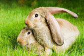 Two rabbits on green grass — Stock Photo