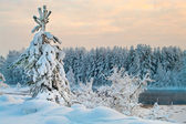 Fir tree in winter forests of Karelia, Russia. Black water and snowy brunch — Stock Photo