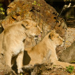 Stock Photo: Two lion females