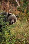 Male Grizzly Bear — Stock Photo