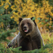 Male Grizzly Bear — Stock Photo #3991172