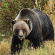 Male Grizzly Bear — Stock Photo #3991378