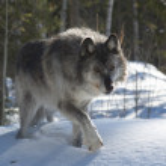 Gray Wolf — Stock Photo #4992653