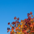 Multi Colored Leaves in Autumn against Blue Sky — Stock Photo