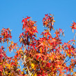 Multi Colored Leaves in Autumn against Blue Sky — Stockfoto