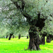 Olive Trees — Stock Photo #4658319