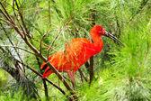 Red Ibis — Stock Photo