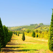 Cypress Trees - Stock Photo