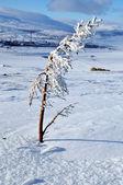 在暴风雪后雪上的冷杉针 — 图库照片