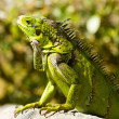 Calm Iguana — Stock Photo