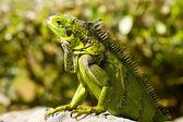 Calm Iguana — Stock Photo