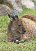Resting kangaroo — Stock Photo